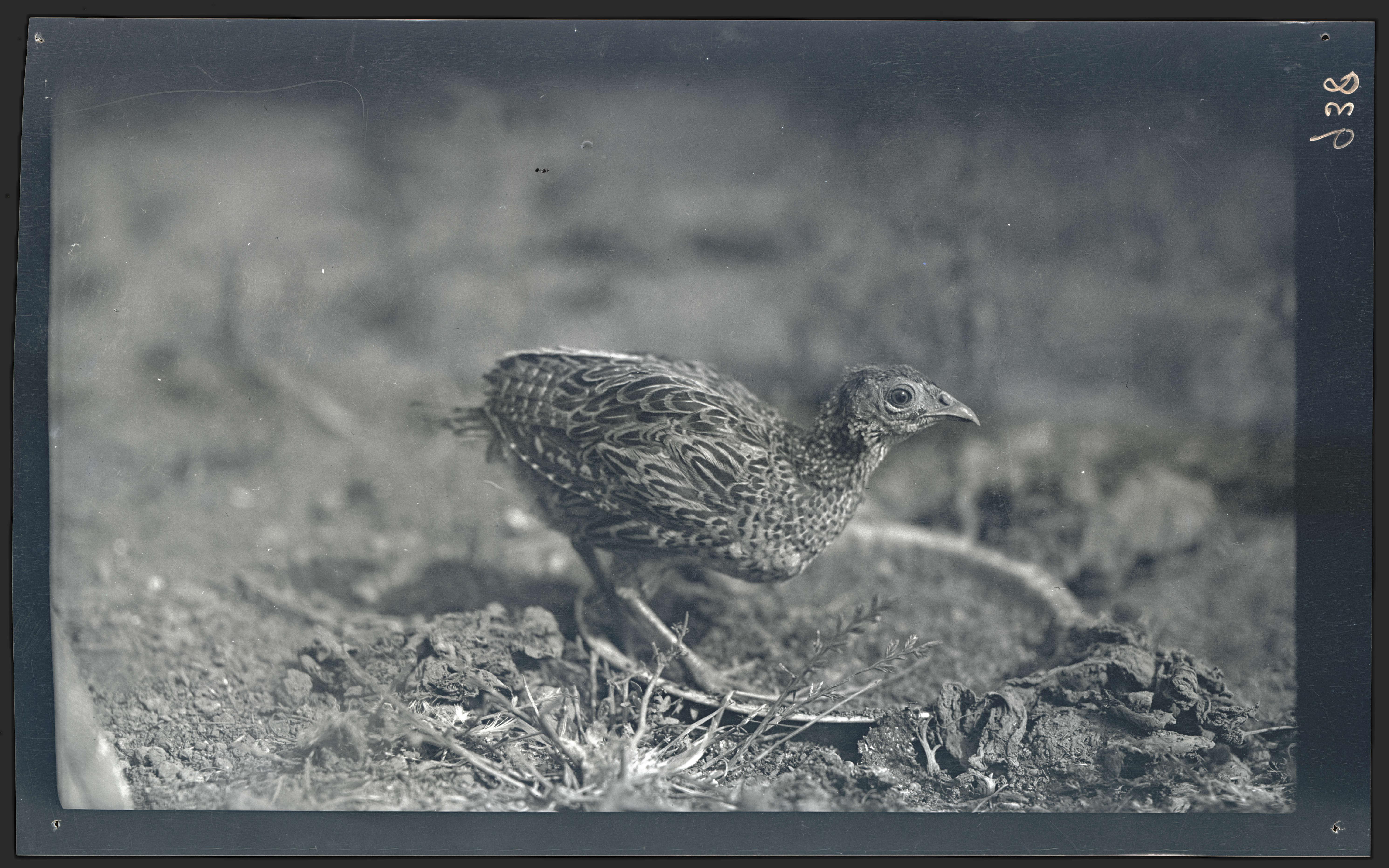 Juvenile pheasant - OHS Digital Collections