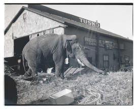 Tusko the elephant, chained outside building