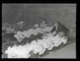 Three people with boxes of cut daffodils