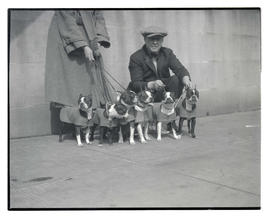 Six Boston terriers? on leashes