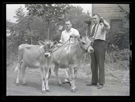 Two men with heifers