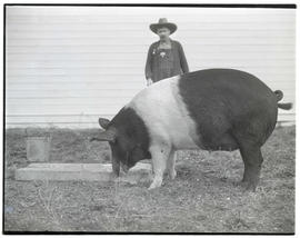 Pig, probably at livestock show