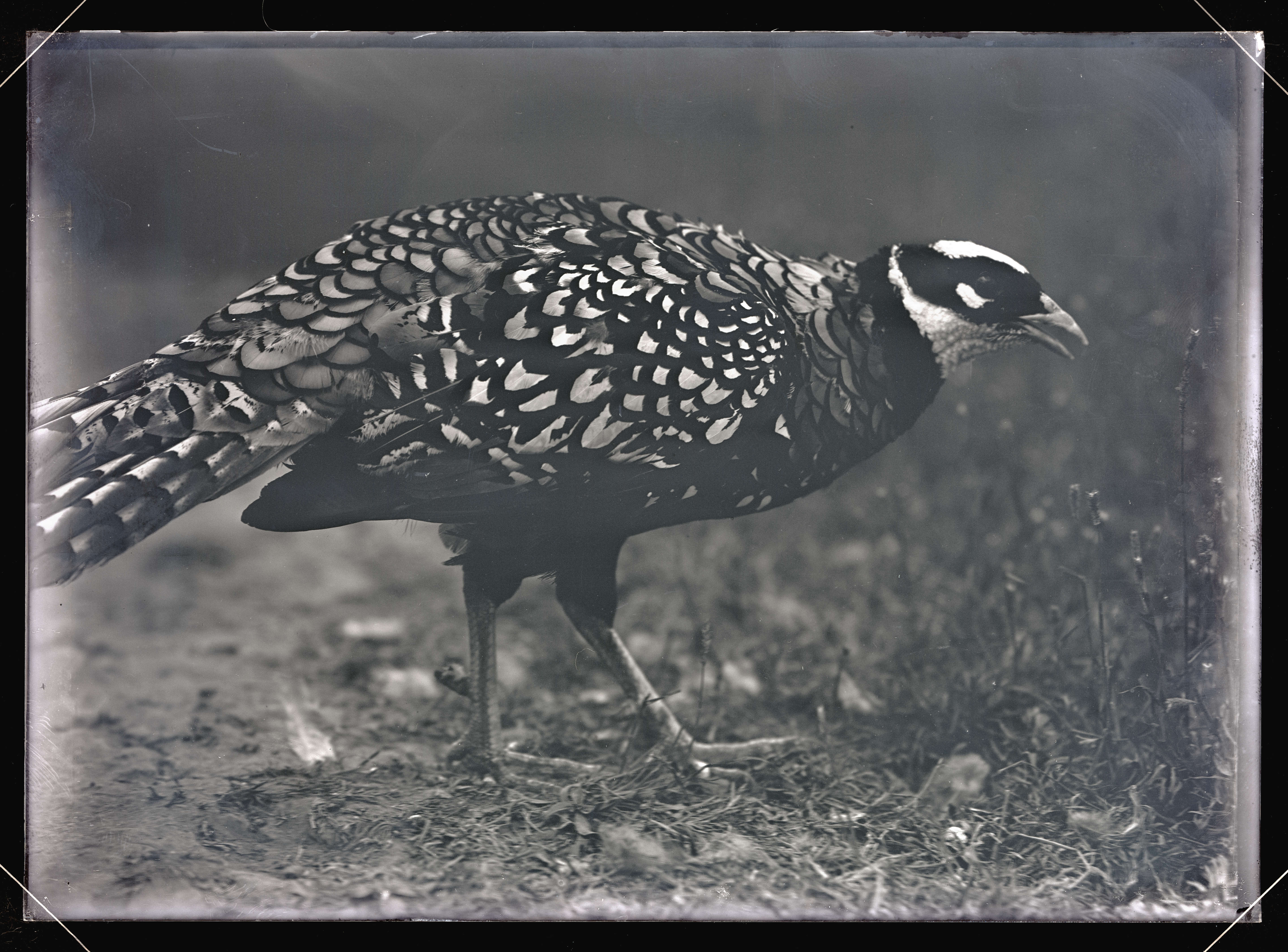 Reeves\'s Pheasant - OHS Digital Collections