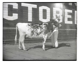 Cow, probably at livestock show