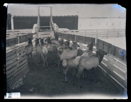 Elk in a corral