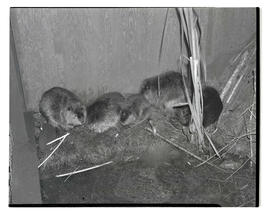 Beavers in enclosure, probably at Pacific International Livestock Exposition