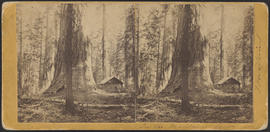 """In the Mariposa Grove"" (Stereograph 1168)"