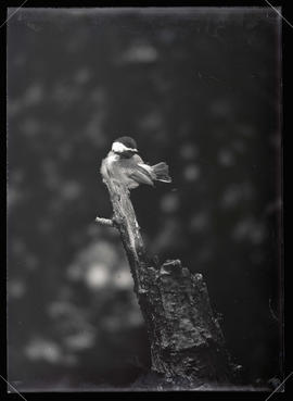 Oregon Chickadee