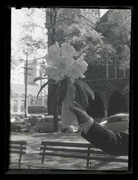 Unidentified person holding vase of rhododendron blossoms in South Park Blocks, Portland