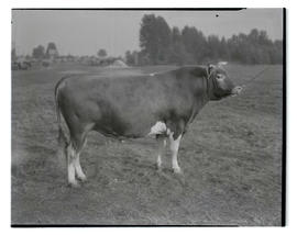 Grand champion Guernsey bull, probably at Pacific International Livestock Exposition