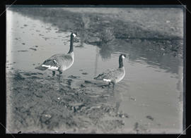 Canadian and Hutchins Geese