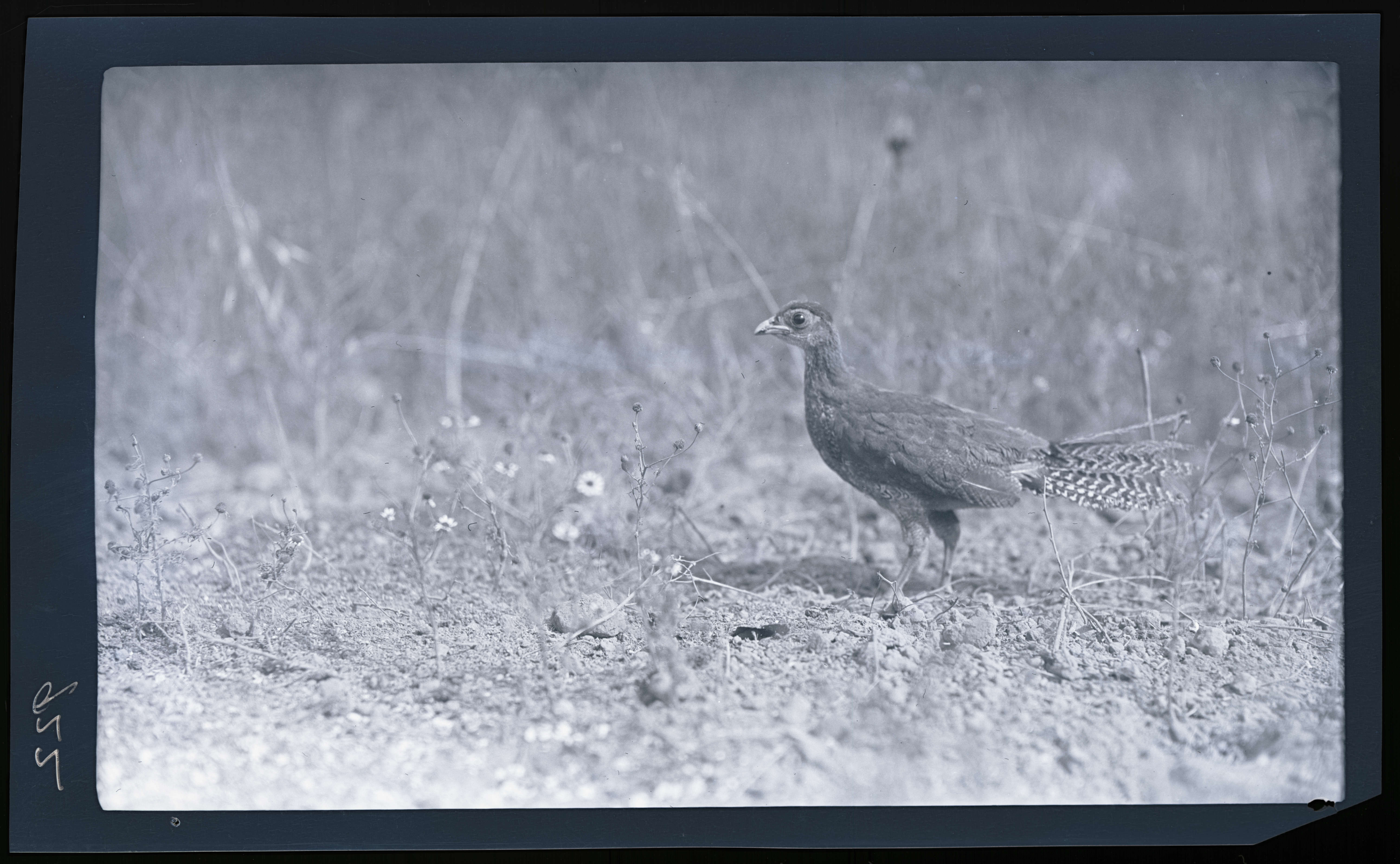 Juvenile pheasant - OHS Digital Collections