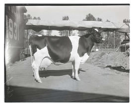 Champion Holstein cow