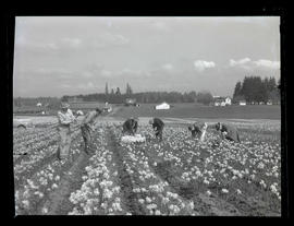 Six men cutting daffodils at Oregon Bulb Farms