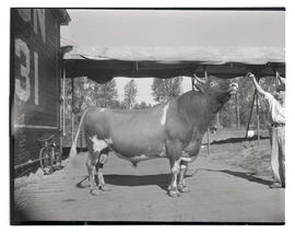 Man with champion Guernsey bull