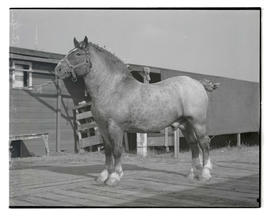 Belgian stallion, Jupiter Harrel's Independence, probably at Pacific International Livestock Expo...