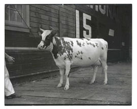Cow at livestock show