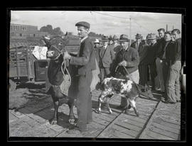 Unidentified men with cow and calf, probably at Pacific International Livestock Exposition