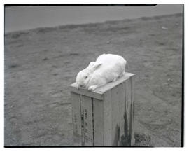 Rabbit, possibly at livestock show
