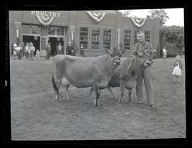 Man and two cows