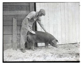 Man brushing pig