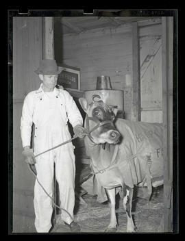 Unidentified man with cow or heifer, probably at Pacific International Livestock Exposition