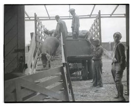 Men unloading pigs from truck