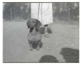 Dachshund, probably at livestock show