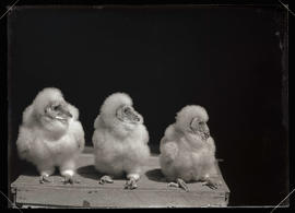 Barn Owl Chicks