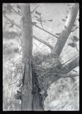 Kingbird Nest