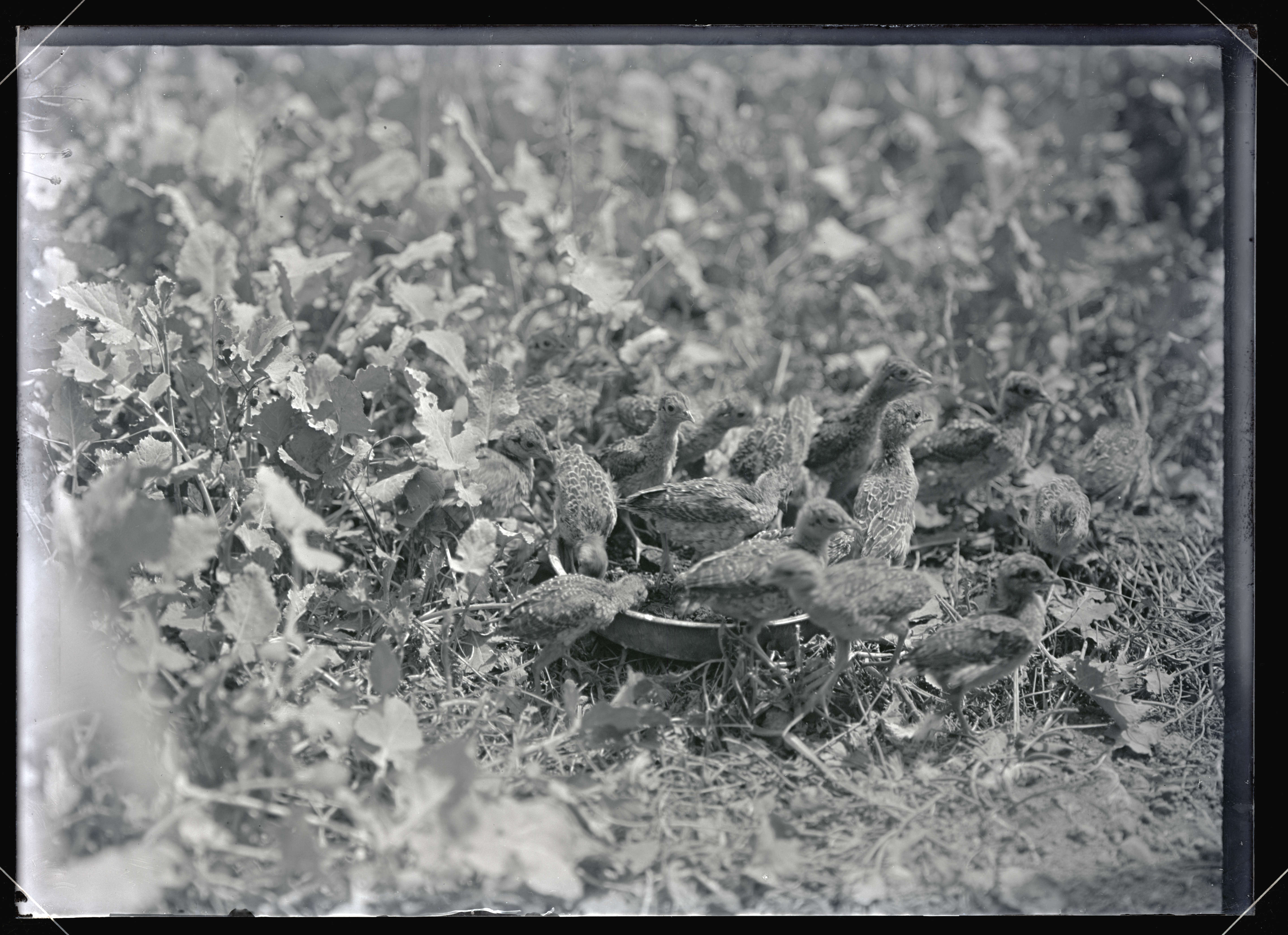 China Pheasants - OHS Digital Collections