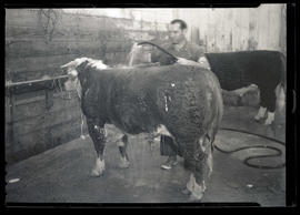 Man washing steer or bull