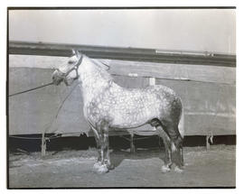 Horse, probably at livestock show