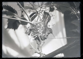 Rufous Hummingbird in Nest