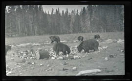 Brown bears at a refuse pile