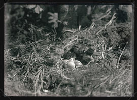 Ruffed Grouse Chicks
