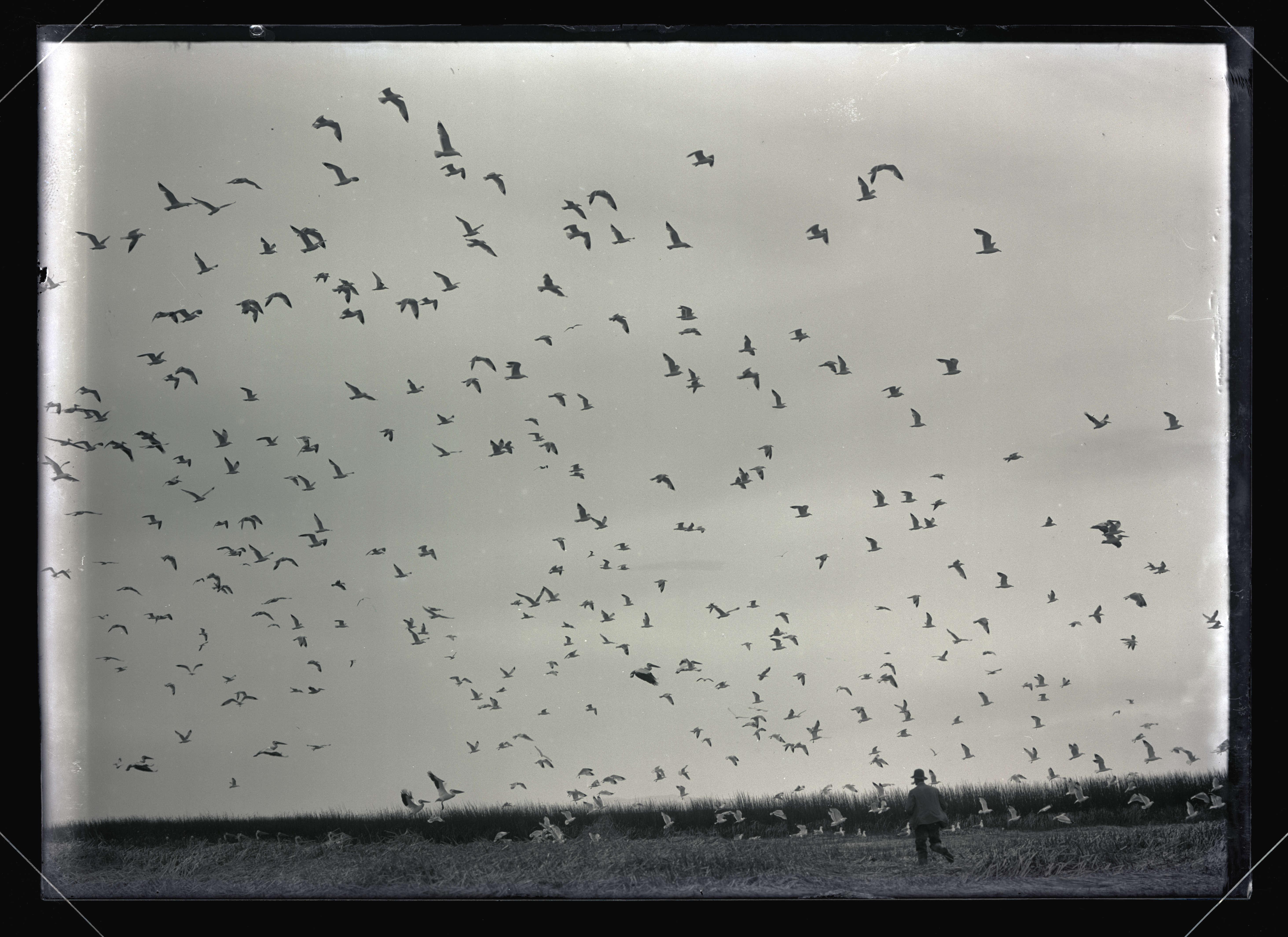 H. T. Bohlman Scaring Gulls