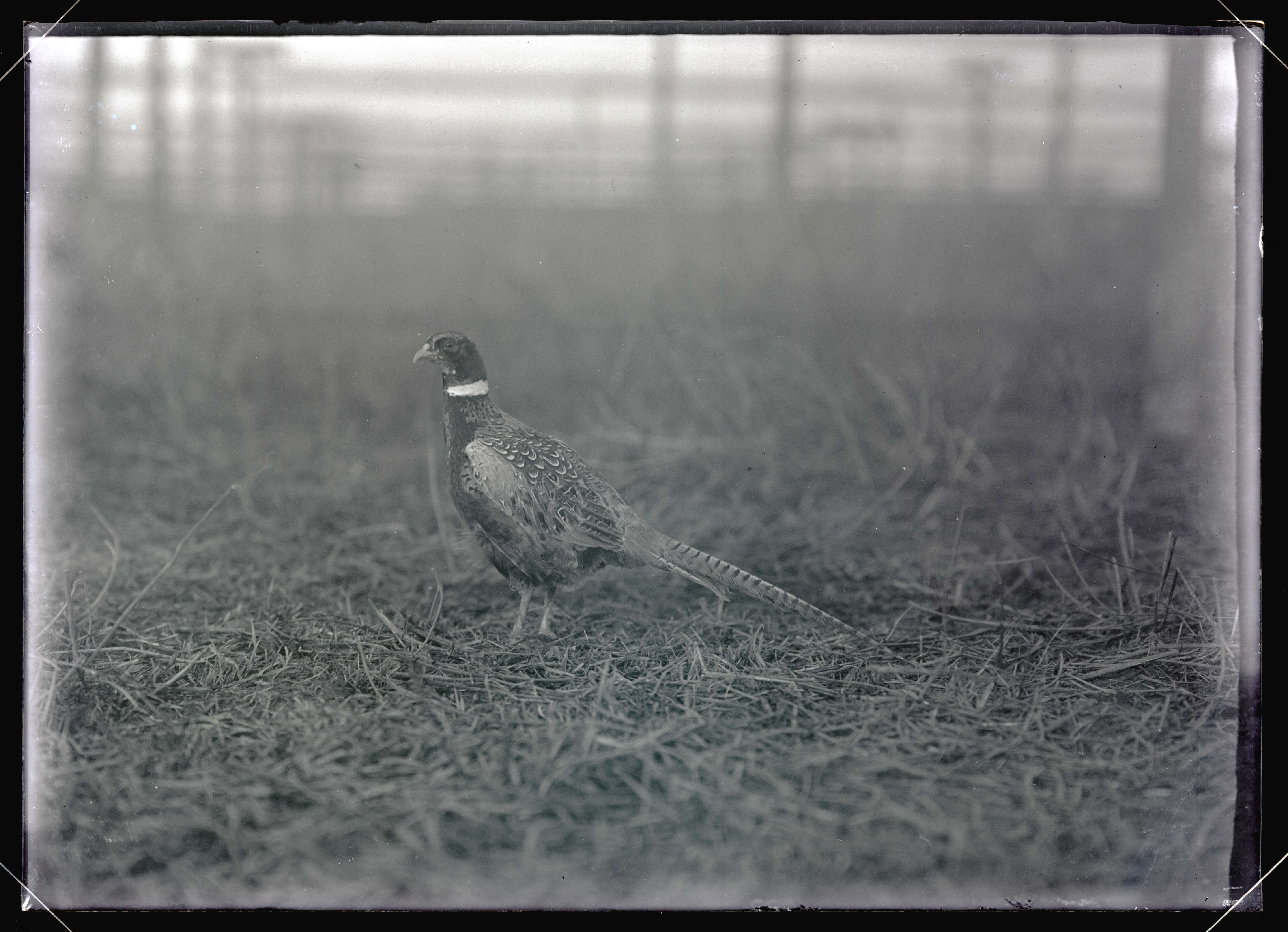 China Pheasant - OHS Digital Collections