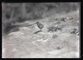 Ruffed Grouse Chick