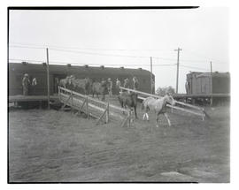 Horses being unloaded from train car