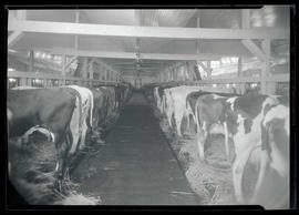 Cattle in barn