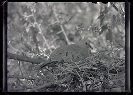 Mexican ground dove