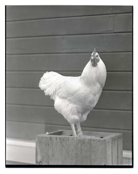 Chicken, probably at livestock show