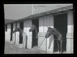 Three horses in stalls