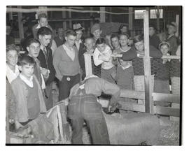 Young people watching sheep trimming, probably at Pacific International Livestock Exposition