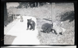 Bear cubs and cougar kittens