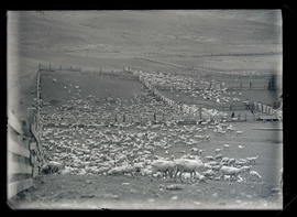Sheep at Hay Creek