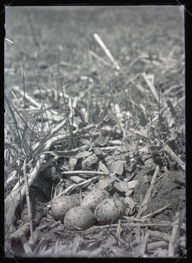 Avocet Nest and Eggs