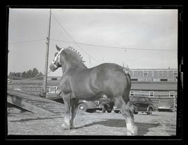 Horse, possibly at livestock show