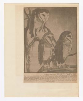 Image of barn owls